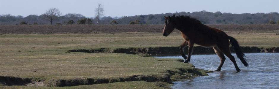 An image of a New Forest pony illustrating one of the excursions in the 16th European Heathlands Workshop 2019